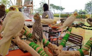 Update harga burung Kakatua mini terbaru