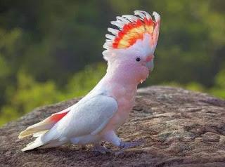 Harga burung kakatua maluku terbaru