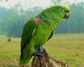 Harga Burung Kakatua Hijau