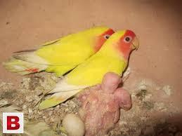 Banyak penyebab indukan lovebird yang membuang anaknya