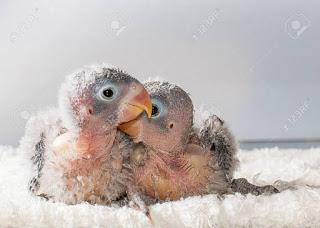 Anakan lovebird baru panen memang susah diloloh