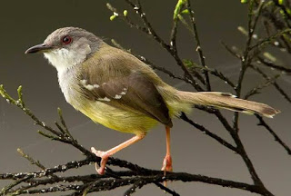 Download suara burung ciblek gacor ngebren panjang