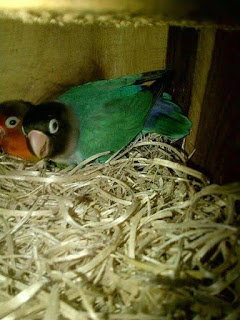 Banyak persoalan mengenai indukan lovebird yang menutupi telurnya dengan sarang