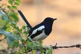 memelihara burung kacer muda hutan adalah kita sudah mendapatkan suara isian yang banyak karena burung sudah termaster secara alami ketika masih dialam bebas.