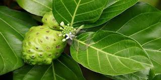 Manfaat daun mengkudu untuk lovebird