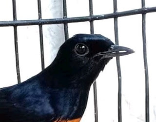 Burung paruh celah mempunyai banyak keistimewaan