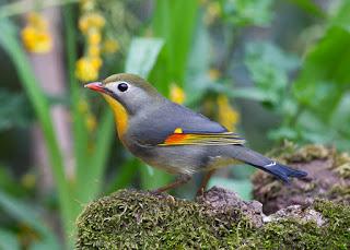 Mengenal Burung Robin Burung Masteran Yang Mulai Jarang Ditemukan Pamankicau