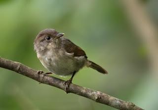 6 Cara Menjinakkan Burung Flamboyan Bakalan Agar Bisa Cepat Gacor Pamankicau