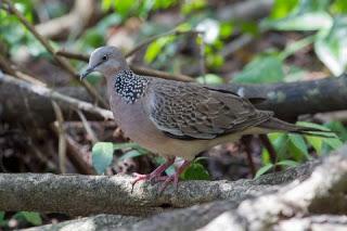 7 Cara Merawat Burung Derkuku Agar Rajin Manggung Setiap Saat Pamankicau