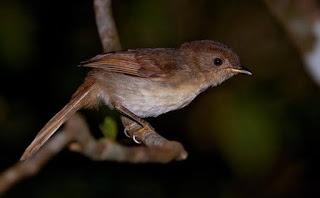 7 Cara Merawat Burung Flamboyan Agar Bisa Gacor Dengan Cepat Pamankicau
