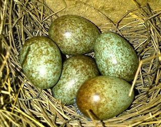 Telur murai dibuang oleh indukan
