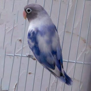 Ini ciri lovebird BS blue series