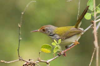 Mengenal Burung Prenjak Lumut Dan Cara Merawatnya Agar Cepat Gacor Pamankicau