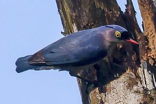 Mengenal Burung Rambatan Dengan Tembakan Rapatnya Pamankicau